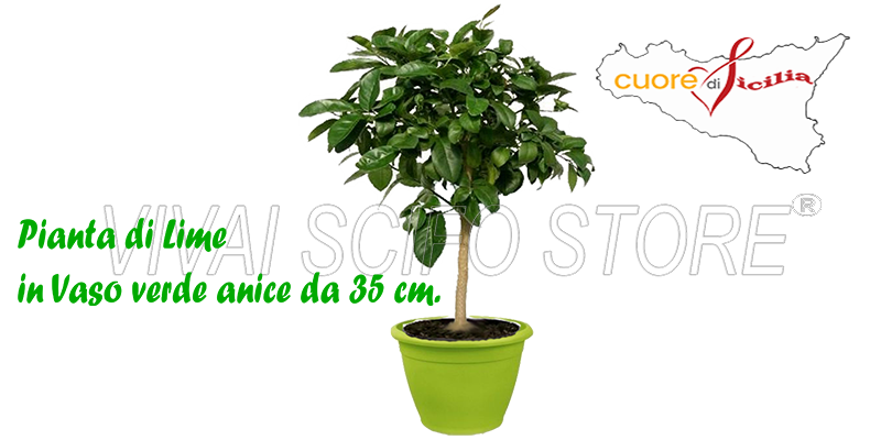 Acquista online pianta di limone lime in vaso verde anice for Pianta da pavimento verde
